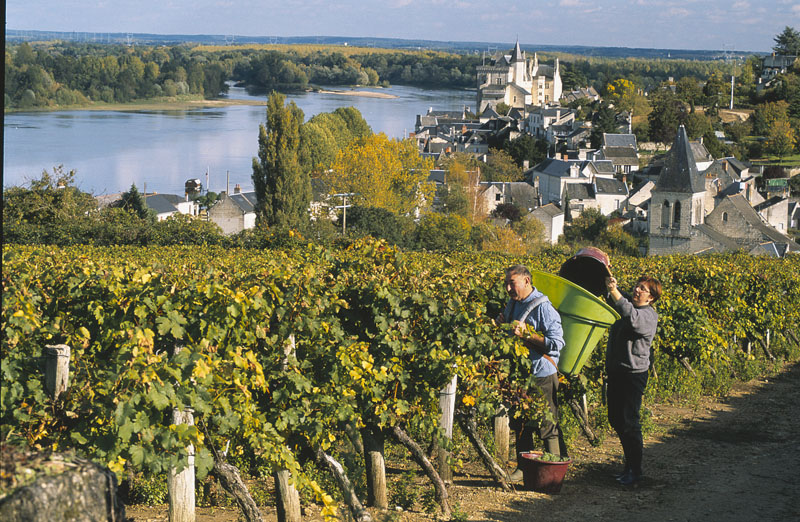 anjou's vineyards